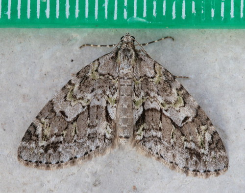 7637 - Cladara limitaria - Mottled Gray Carpet (2)