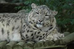 Schneeleopard in der Safari de Peaugres