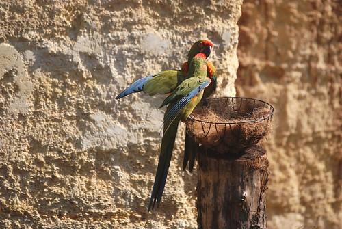 Soldatenaras im Zoo de Doué-la-Fontaine