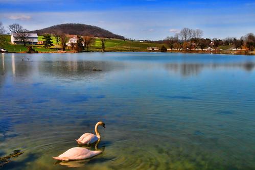 Swans on Silver Lake