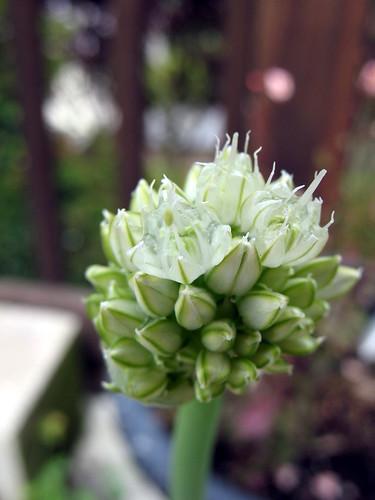 Green onion scape