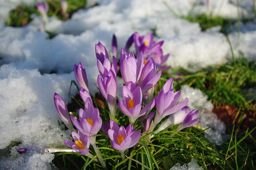 20100220-32_Crocus in the snow - Bilton Green Rugby by gary.hadden