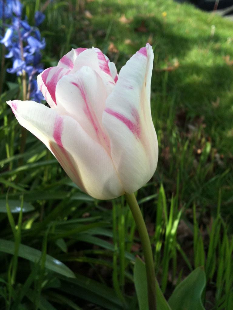 Stripy tulip