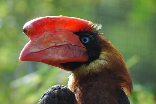 Nashornvogel  im Zoo de La Palmyre
