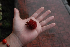 En Route: Rambutan resembles an edible version of Animal from 'The Muppet Show.'