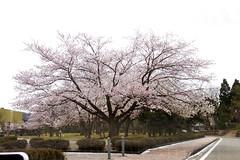 さくら@越前陶芸公園