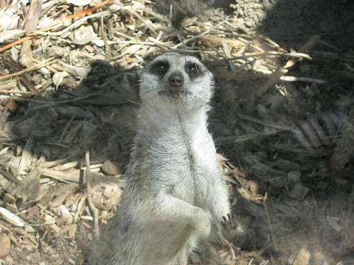 Meerkat at the Melbourne Zoo