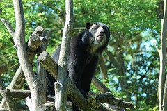 Brillenbär im Zoo de Doué-la-Fontaine