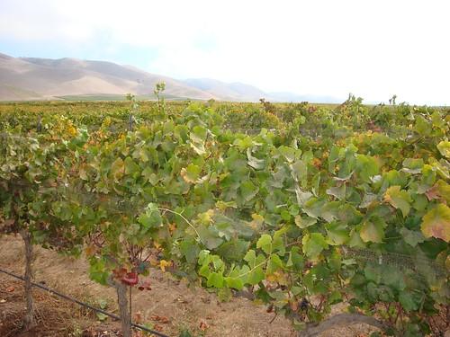 Bien Nacido Vineyards after harvest