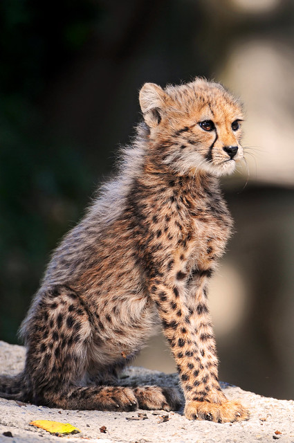 Best Pictures Of Cubs Lions Tigers Cheetahs Amp Leopards