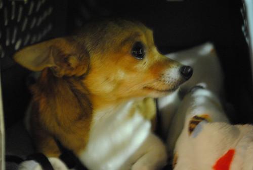 [84/365] Rosie the Chihuahua