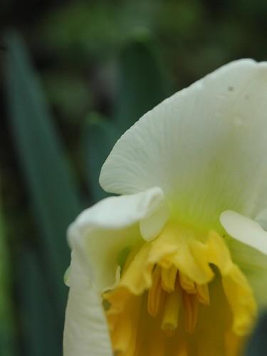 White Daffodils3
