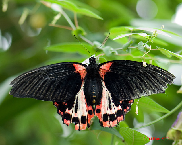 Scarlet Swallowtail - Carleton University Butterfly exhibit, Ottawa, Ontario
