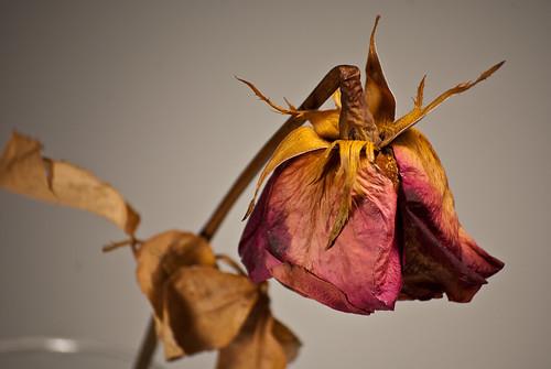 Sun-dried Rose