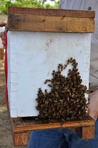 Bees on nuc box Mark carrying