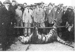 1915年,新界發現老虎,一名英人,兩名印警遇襲死亡。圖為肇事後被射殺的老虎。