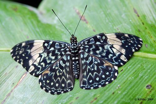 Starry Night Cracker - Butterfly Conservatory, Niagara Falls, Ontario