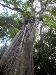 Strangler Fig on a Rosewood; Ficus obliqua & D...