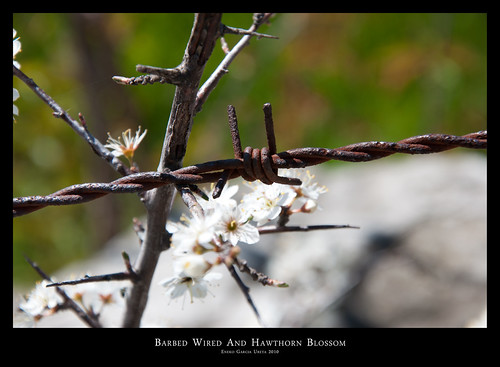 Barbed Wire And Hawthorn Blossom