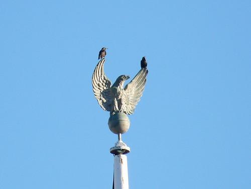 Starlings on flagpole eagle
