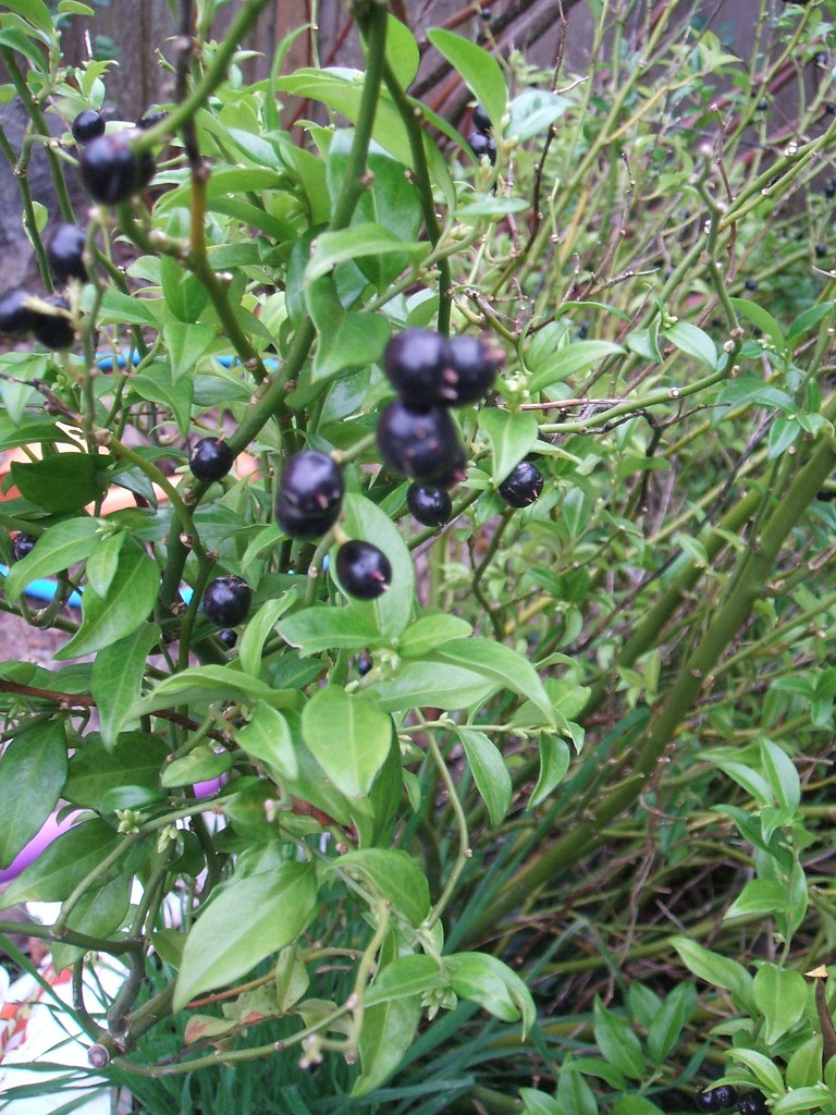 Sarcococca berries in late November