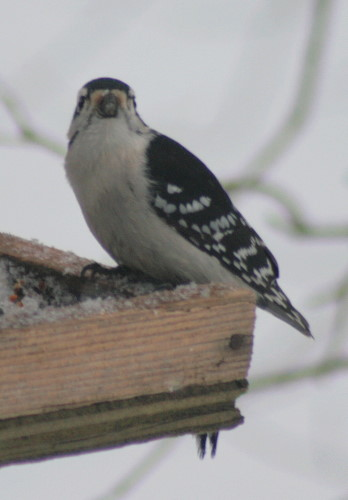 New Year's Downy Woodpecker