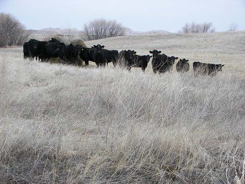Black Angus along White River Road