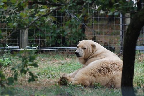 Eisbär Jonny in der Safari de Peaugres