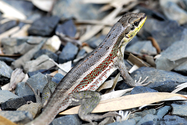 Lizard with striking markings