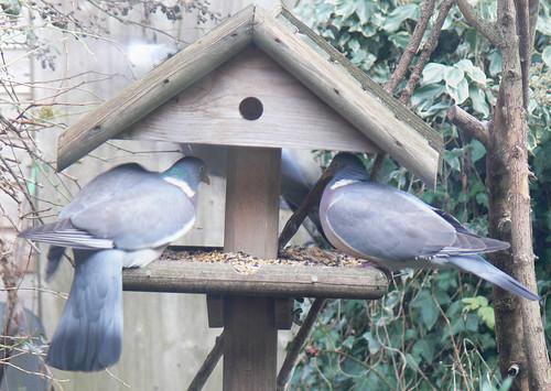 Garden Birdwatch (3)
