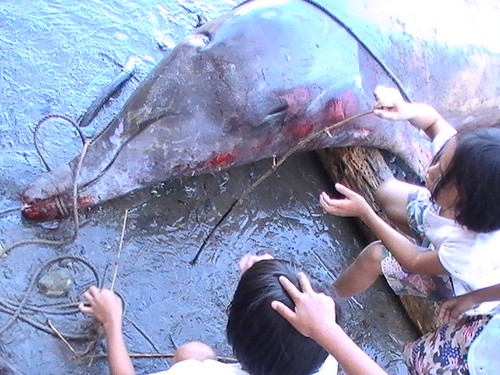 Dolphin Salvaged in Brgy. Purog, Bulusan, Sorsogon December 15, 2009