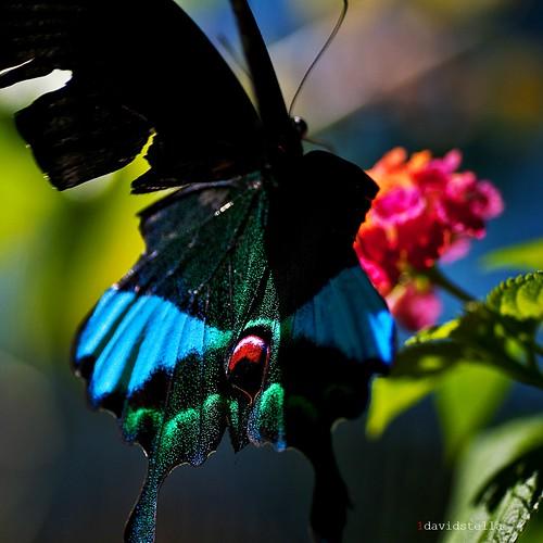 Papilio karna carnatus {Jungle Jade, Dschungeljade}
