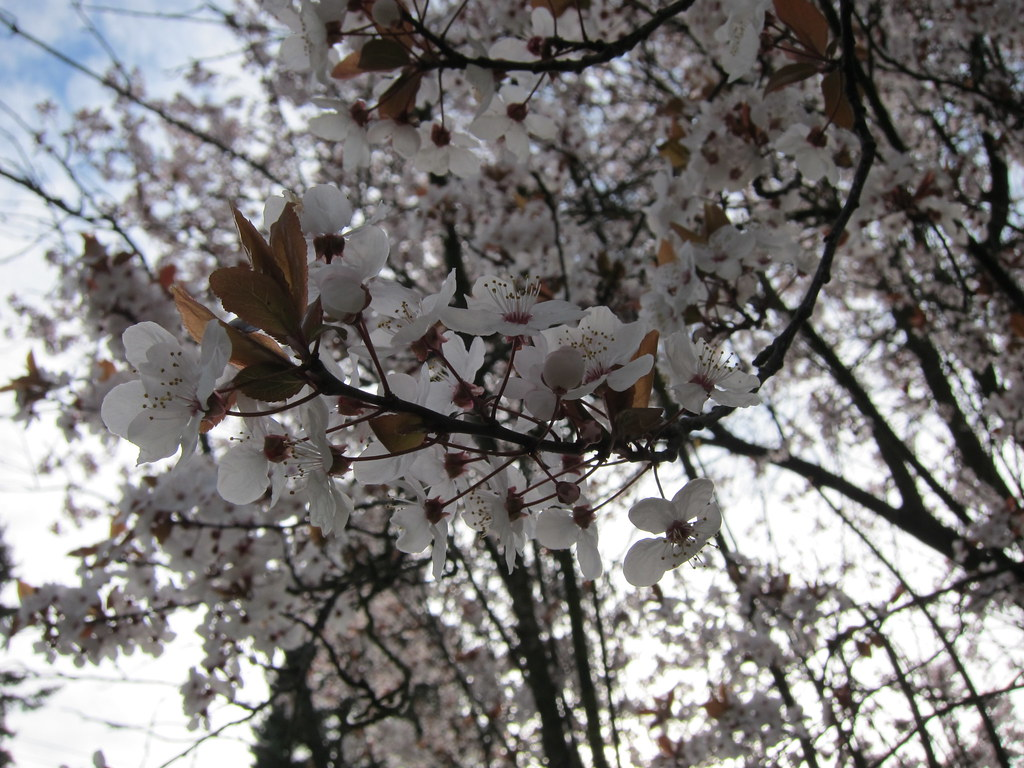 Pale pink plum blossoms with purple leaves beginning to emerge