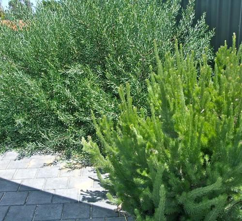 grevillea and woolly bush