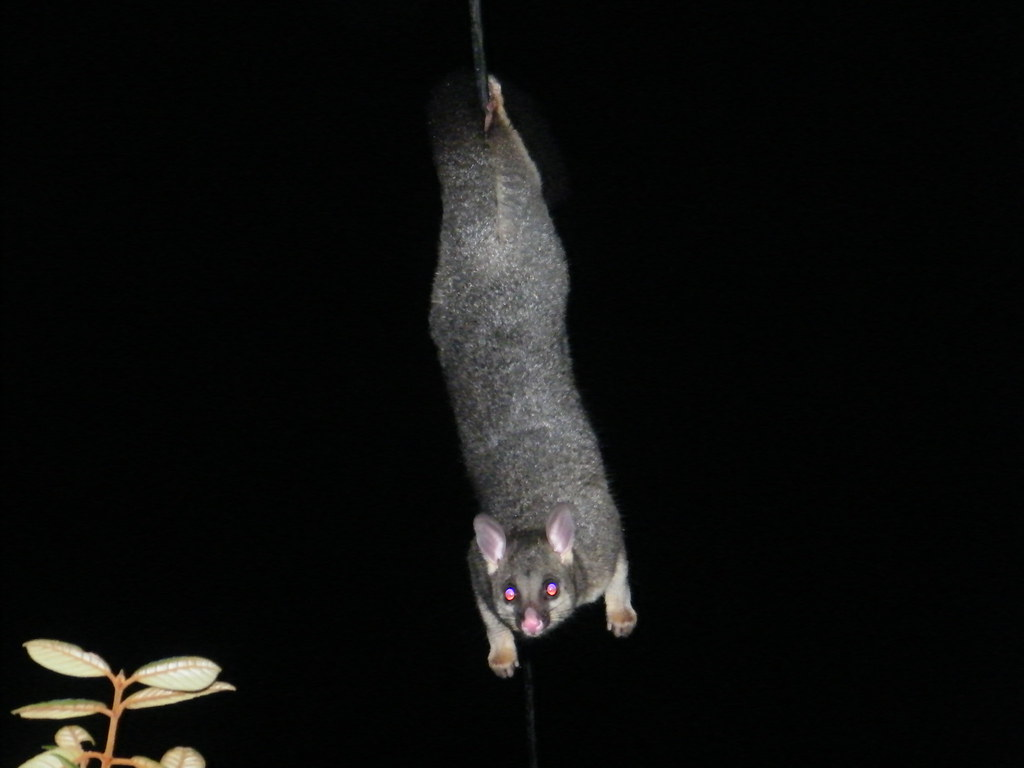 Opossum Hanging Upside Down One Hanging Upside Down on
