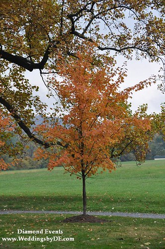 Fall Tree at Whitehall Manor in Bluemont,Virginia