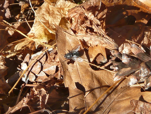Housefly on fallen leaves