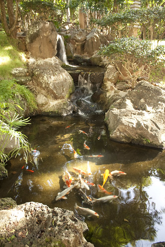 Koi in the pond at the Japanese Garden, U of Hawaii at Manoa