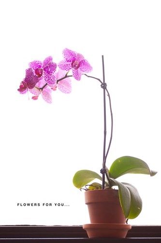 orchid-7409