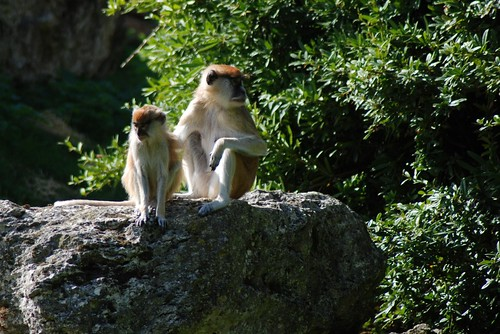 Husarenaffen im Zoo Parc de Beauval