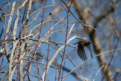 Bohemian Waxwing takes flight