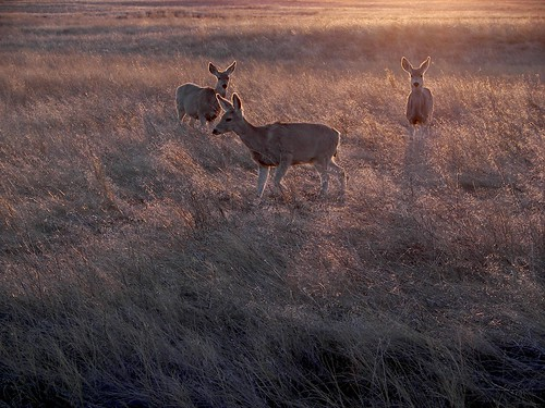 Mule Deer at the Golden Hour