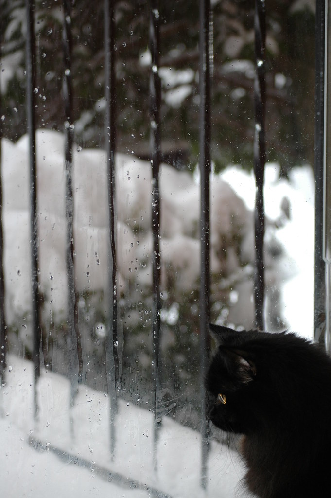 A black Siberian Forest Cat