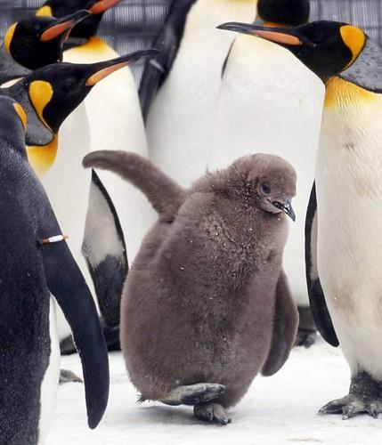 SCOTLAND Penguins 144311