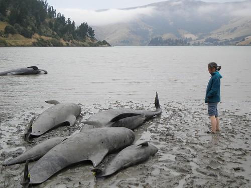 meika observes stranded pilot whales