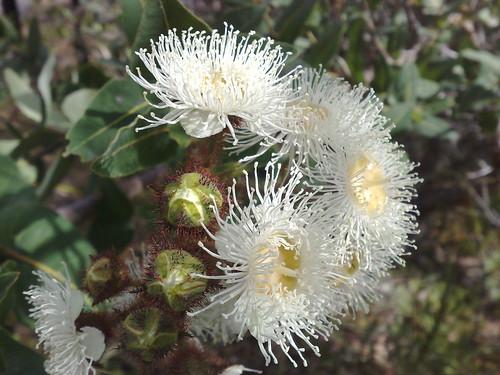 Gum blossom