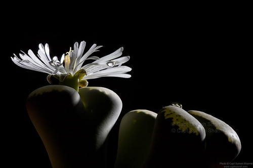 Lithops Succulent Shining Bright... Under Elinchrom Strobes... by Captain Suresh