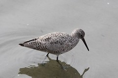 Willet (Tringa semipalmatus) (eastern form)