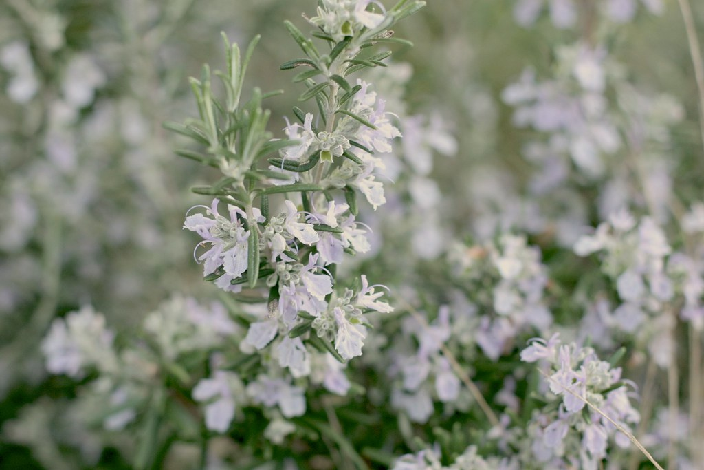 February 17: Rosemary in crazy bloom