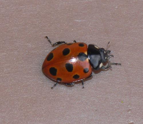 11-spot ladybird (Coccinella 11-punctata)